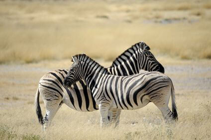 Angola - Zebras
